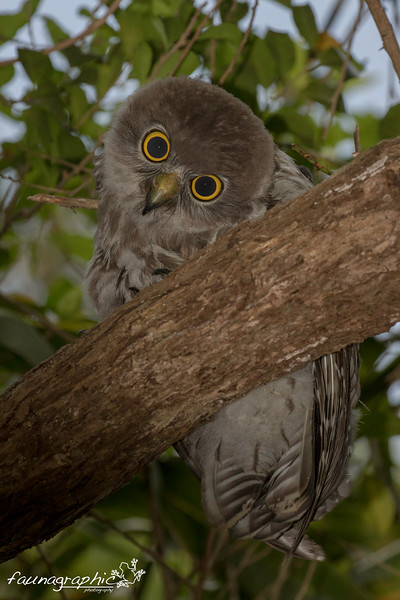 Juvenile Barking Owl