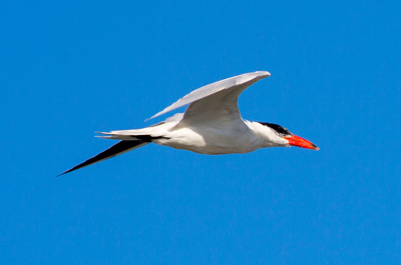A Caspian Tern in flight