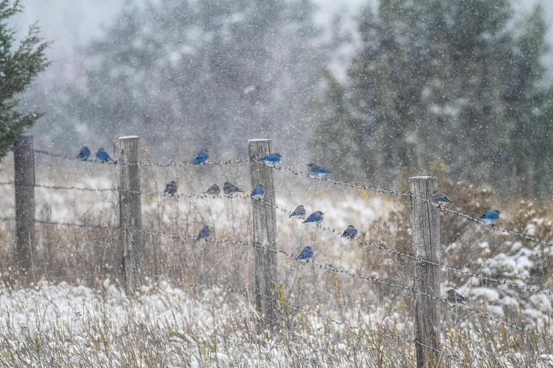 Mountain Bluebird flock on barbed wire fence in snow Theodore Roosevelt National Park Medora ND -1836.jpg