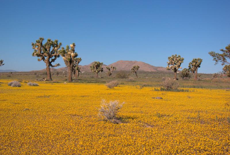 Joshua Trees and goldfields (Lasthenia sp.), Saddleback Butte, Antelope Valley, CA
