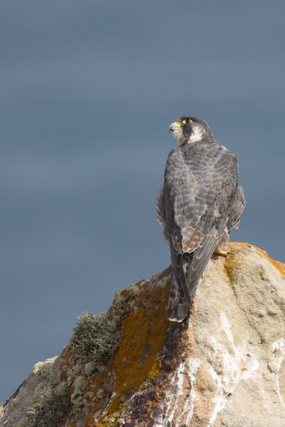 Peregrine Falcon - Point Reyes, CA, USA