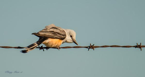 Scissor-tailed Flycatcher_DWL4051.jpg