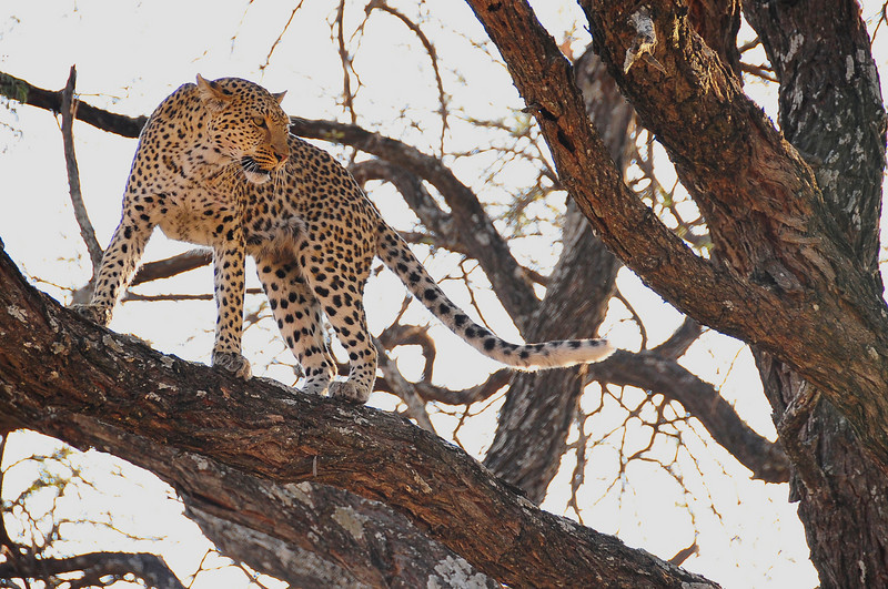 EPV0446 Leopard Looking at Lost Kill.jpg
