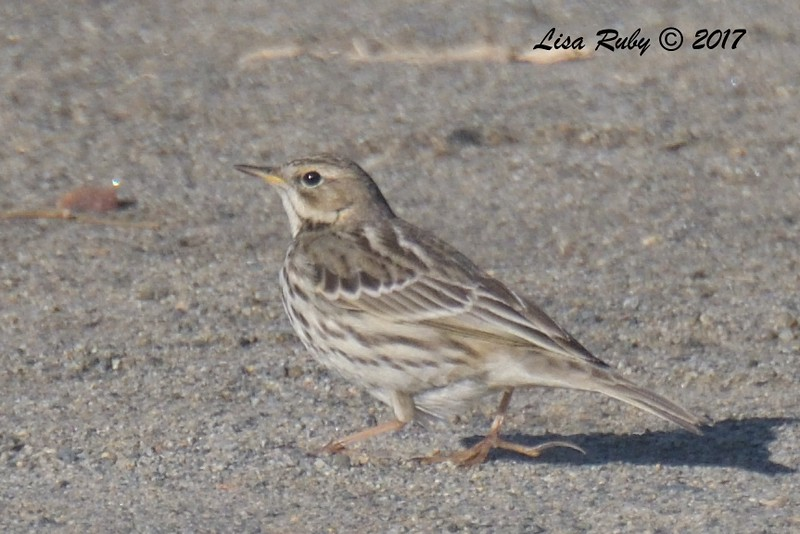Red-throated Pipit - 12/24/2017 - Berry Park