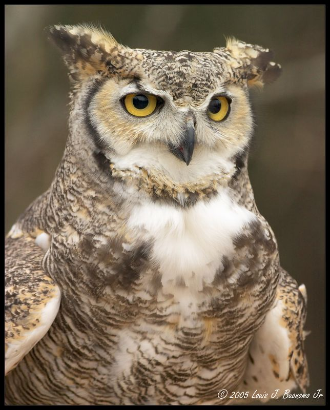 Great Horned Owl - Bubo virginianus  Quogue Wildlife Refuge - Winter 2005