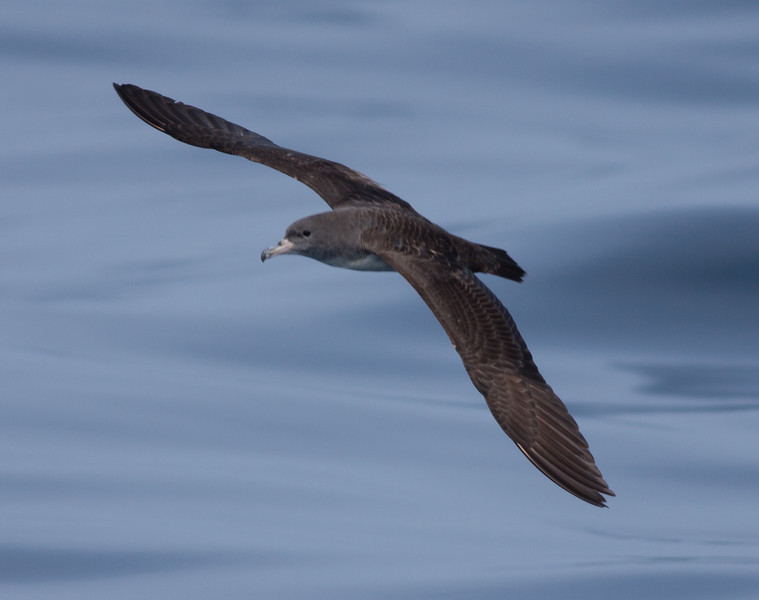 Pink-footed Shearwater  Mexican Waters 2010 04 17.CR2 (1 of 1).CR2