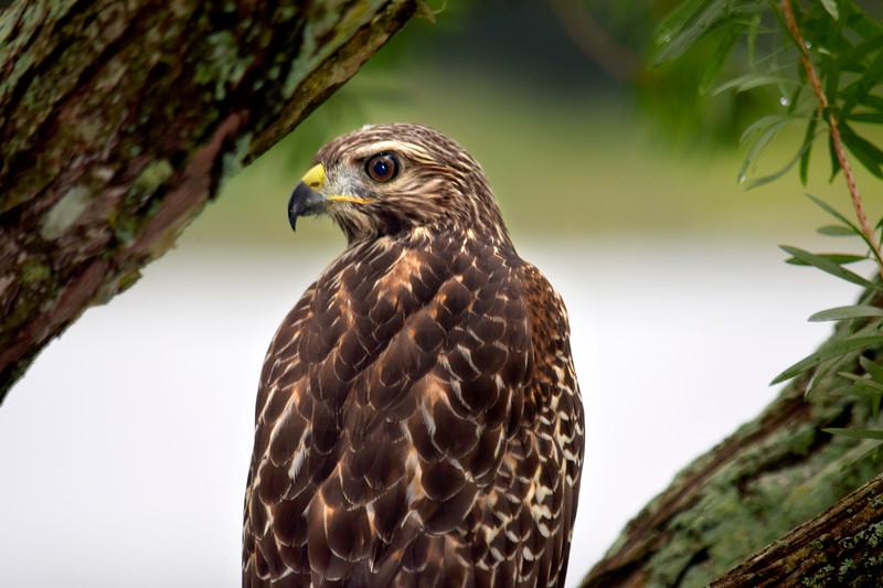 8_27_18 Red shoulder hawk.jpg