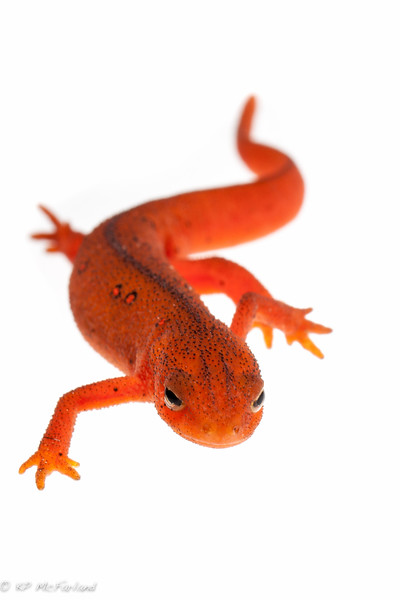 eastern newt (Notophthalmus viridescens) red eft