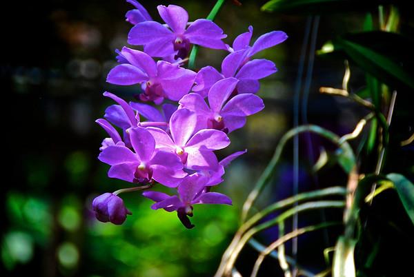Orchid Farm - Chiang Mai, Thailand