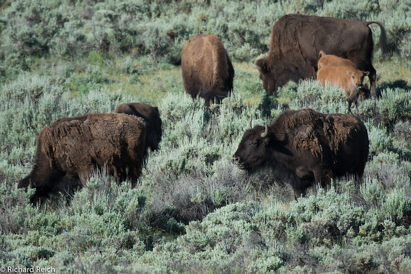 Wildlife in Lamar Valley