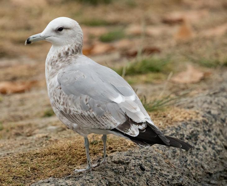 California Gull  Ponto Beach 2016 12 09-1.jpg