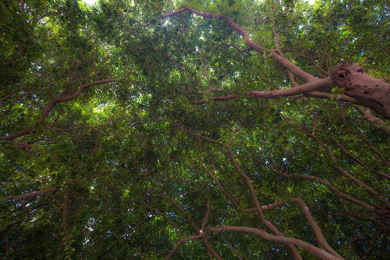 Banyan Tree 14