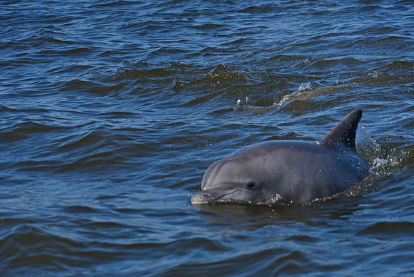 Dolphin - Also see Jekyll Island Boat Tours for massive Dolphin