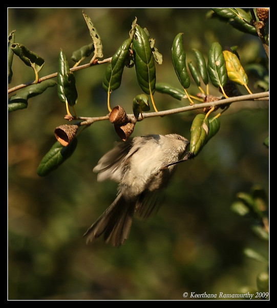 Bushtit, Santee Lakes, San Diego County, California, January 2009
