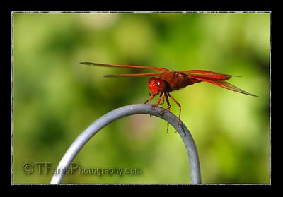 Dragon Flys
