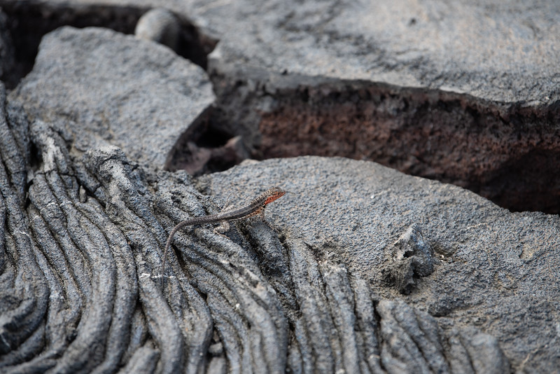 Lizard on lava