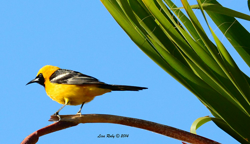 Hooded Oriole - 6/24/2014 - Backyard Sabre Springs