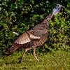 WIid turkey