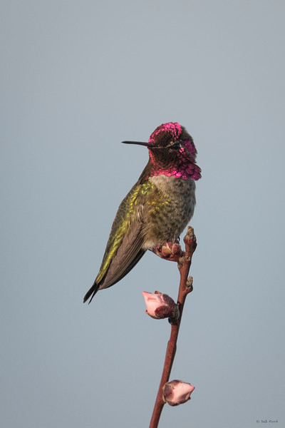 Anna's Hummingbird (male)