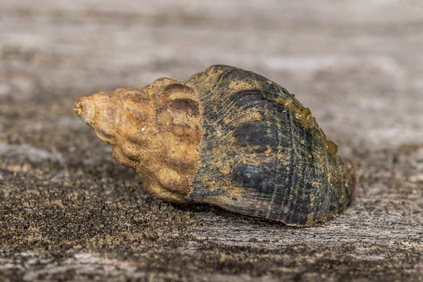 Cominella glandiformis - Mud whelk