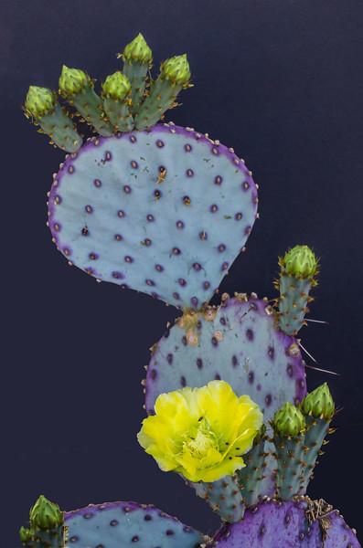 Cactus Flowers 4-22-2017d.jpg