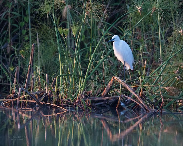 Little Egret, Chobe River, NAM, Oct 2016-4.jpg