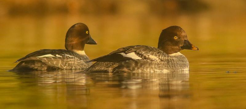 Goldeneyes on Golden Pond
