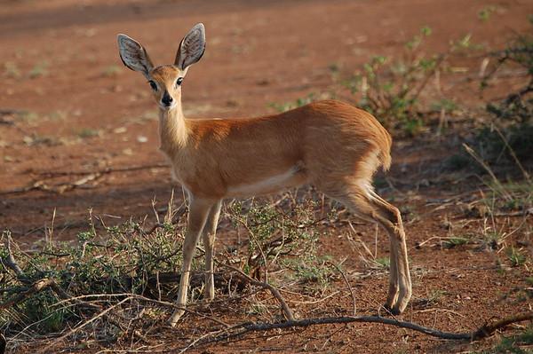 Kruger Steenbok