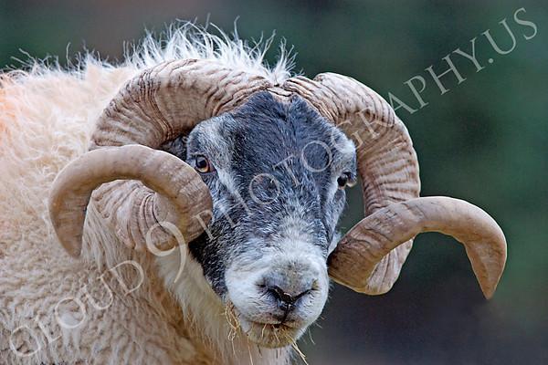 Black Faced Ram Wildlife Photography