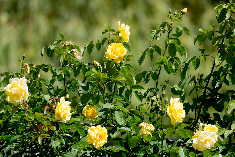 More yellow roses of Texas