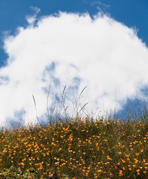 Poppies, Rancho Cañada del Oro Open Space Preserve, California, 2010