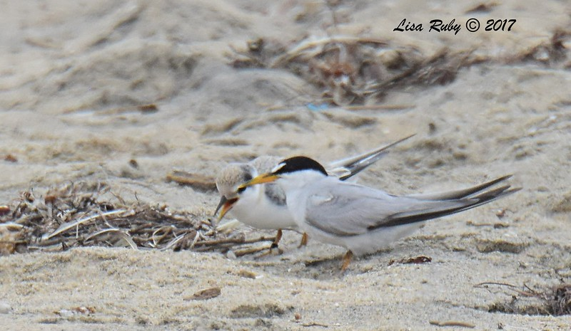 Least Terns, adult and juvenile - 8/27/2017 - Imperial Beach, walk to river mouth