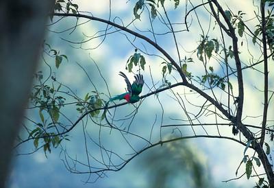 Resplendent Quetzal (2016)