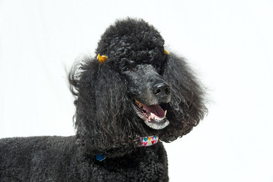 Poodle Day 2013  - Private Galleries