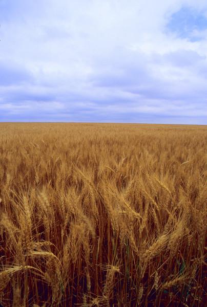 A Sea of Wheat