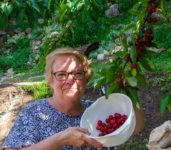2013 Cindy Cherry Picking