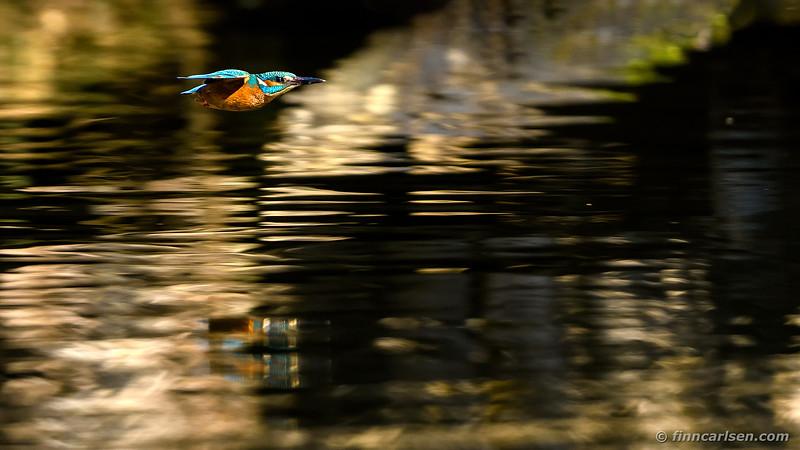 Isfugl - Alcedo atthis - Kingfisher