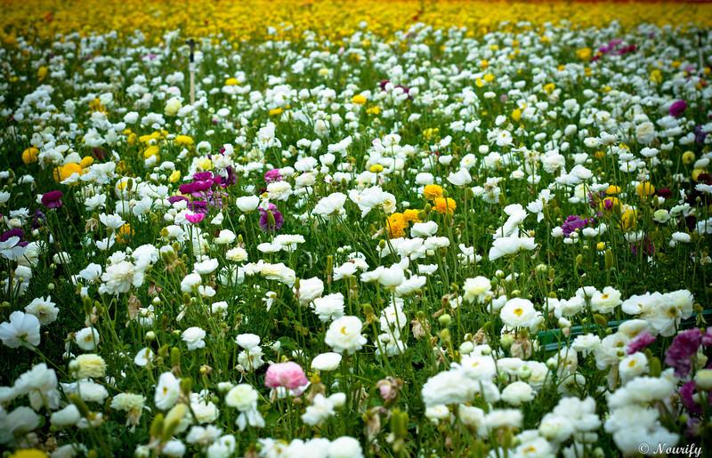 130505_036_FlowerField.jpg