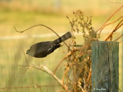 Blue Jays Living Dangerously