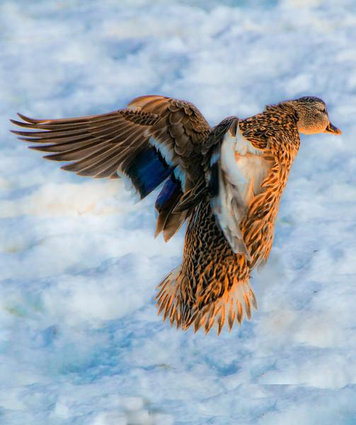 Duck  Mid air flight ind sum bEST .jpg