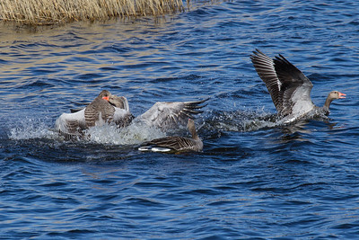 Greylag Goose in fight