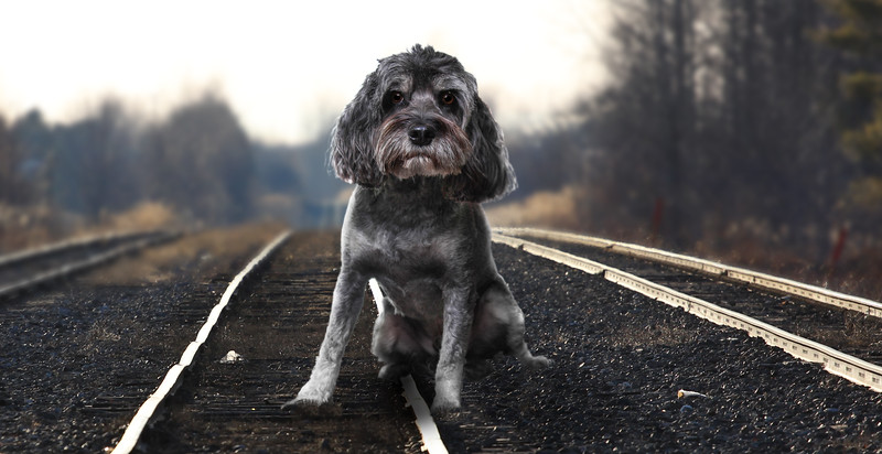 Grey-dog-2.jpg