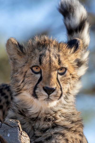 Namibia E4A3746 Captive.jpg
