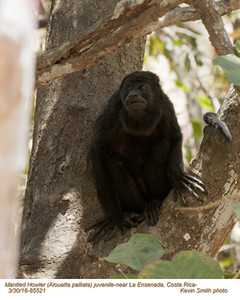 Mantled Howler A85521.jpg