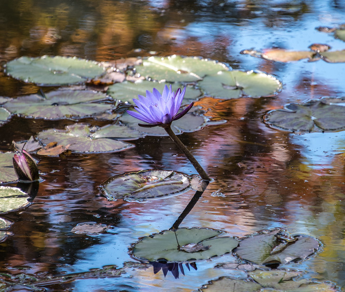 Blue Water Lily, Autumn 2014<br /> <br /> ©Gerald Diamond<br /> All rights reserved