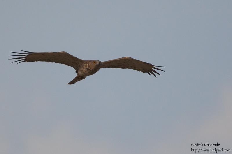 Short-toed Eagle - Kutch, Gujrat, India