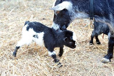 Skyline goats 2013