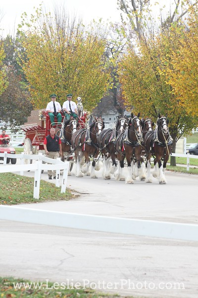 Budweiser Clydesdales at the 2015 CP National Horse Show