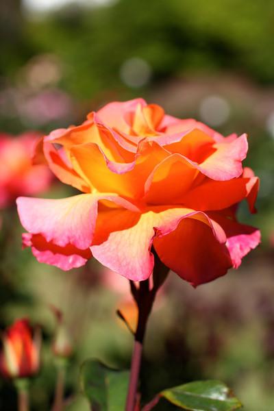 Portland International Rose Test Garden  2193.jpg
