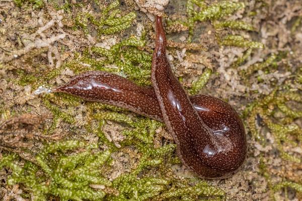 Newzealandia otiraensis